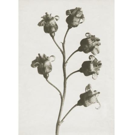 Art Print Blossfeldt, Ribes Nigrum ,18 x 24 cm Sköna Ting