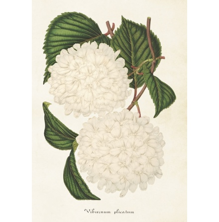 Poster vintage japansk snöbollsbuske, 35x50 cm Sköna Ting