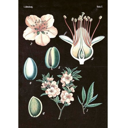 Poster vintage mandel-svart, 35x50 cm Sköna Ting