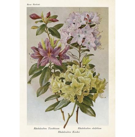 Poster/affisch i strl 35x50 cm, vintage collection medrhododendronfrån Sköna Ting.